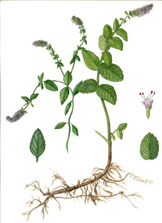 flowering mint botanical rendering