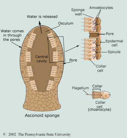 Sponge anatomy - Illustration@