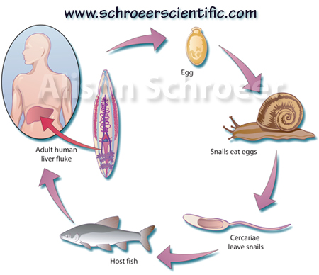 liver fluke life cycle