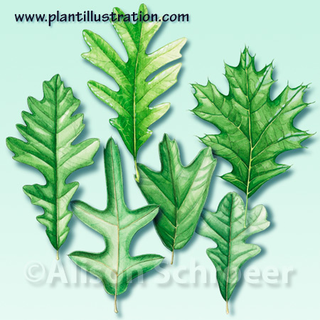 Oak leaf illustration Quercus Fagaceae art