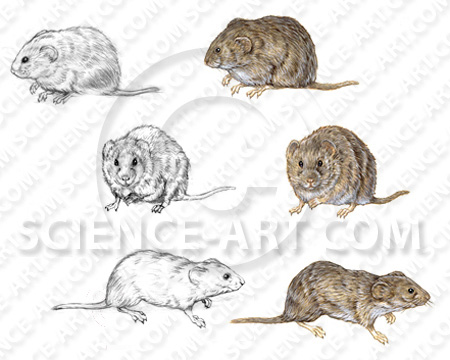 Voles - Illustration@Science-Art.Com