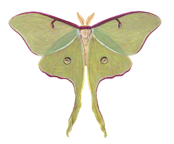 Luna moth scientific illustration - photo#13