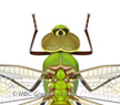 Green Darner Dragonfly (<i>Anax junius</i>)