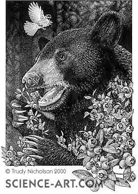 Black Bear Disturbed by Chickadee
