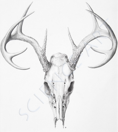 Elk skull drawing - photo#26