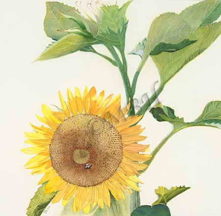 Helianthus annuus, Common Sunflower
