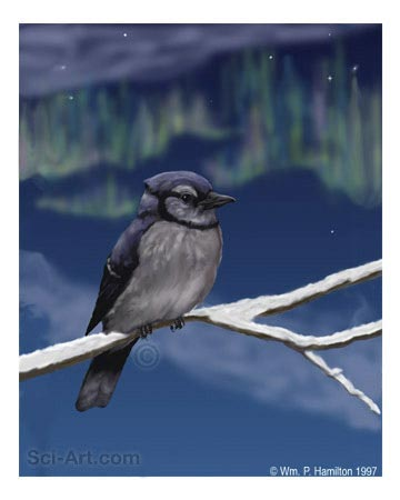 Cold night for a Bluejay