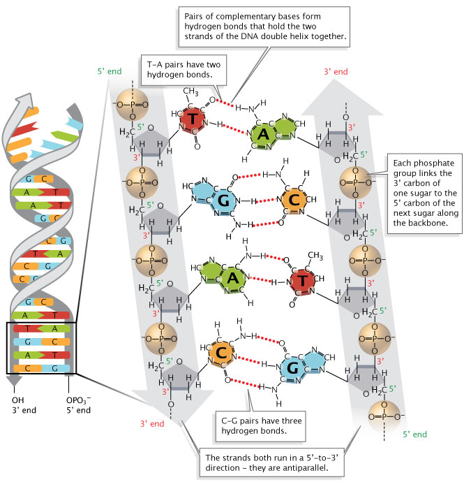 Dna Structure And Replication Burning Science