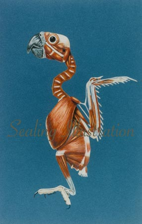 Cockatoo Musculature