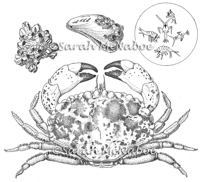 Crab With Meal Plan
