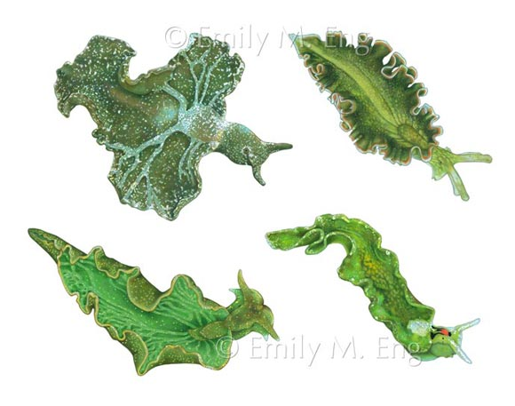 Elysia Sea Slugs