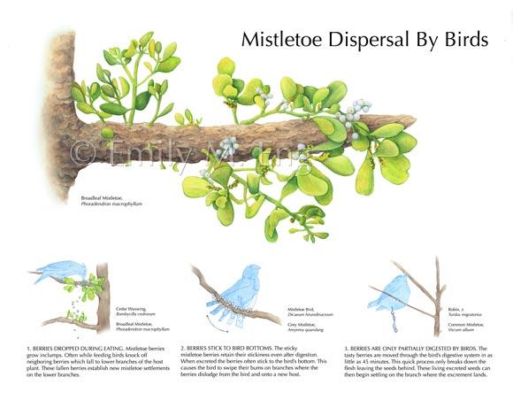 Mistletoe Dispersal By Birds