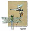 Dragonfly illustration by Karen Johnson