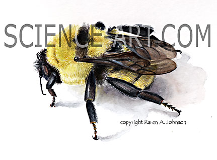 Bumble Bee Study