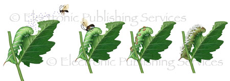 Tomato horn worm and parasitic wasp