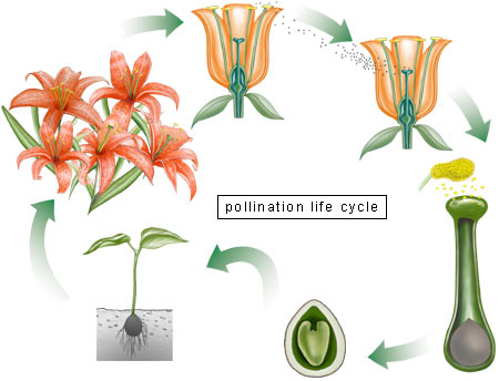 Pollination Life Cycle