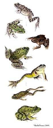Ranid frogs of the Sonoran Desert region