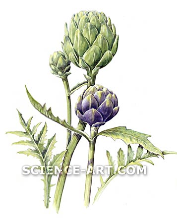 New Globe and Purple Romagna Artichokes