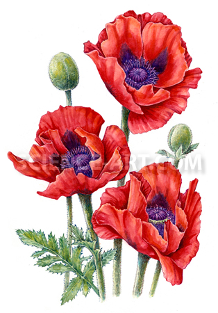 Oriental Poppy - Beauty of Livermere
