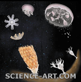 Jellyfish Life Cycle Illustration Science Art Com