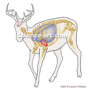 General Anatomy of Deer