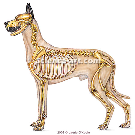 General Skeleton of Dog
