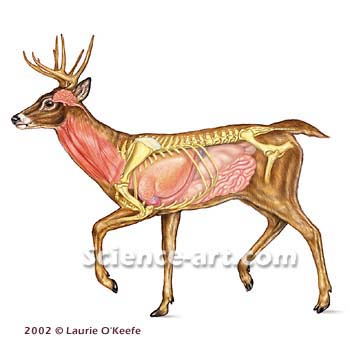 Whitetail Deer Vital Organs http://www.boards.ie/vbulletin/showthread.php?t=264192