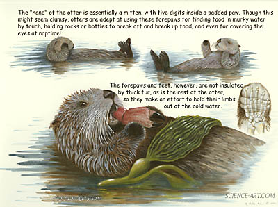 Sea Otter Anatomy