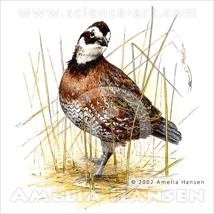 Northern Bobwhite, Colinus virginia