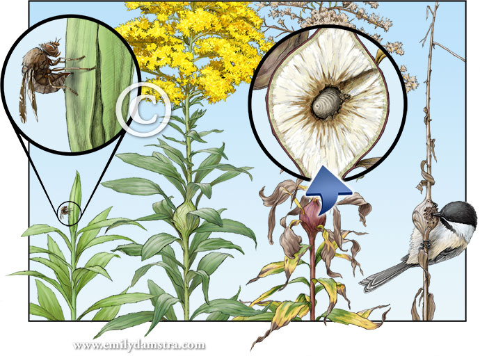 Life cycle of the goldenrod gall fly