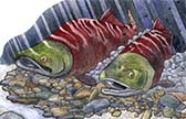 Sockeye Salmon, scratchboard and watercolor illustration
