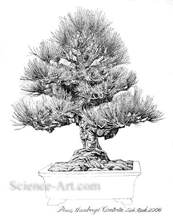 <i>Pinus thunbergii</i> Bonsai