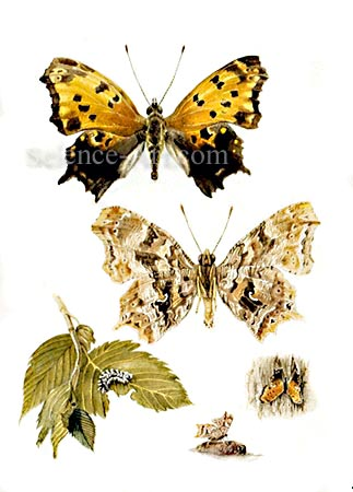Eastern Comma Butterfly- Pollgonia comma