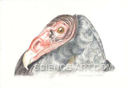Black Vulture Cathartes aura