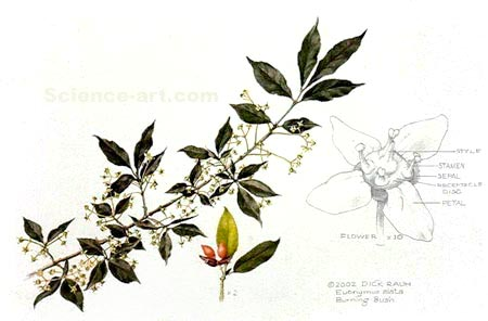 <i>Euonymus alata</i>, Burning Bush