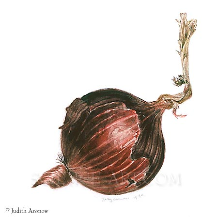 Red Onion - Illustration@Science-Art.Com