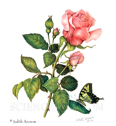 Hybrid Tea Rose w/Swallowtail Butterfly