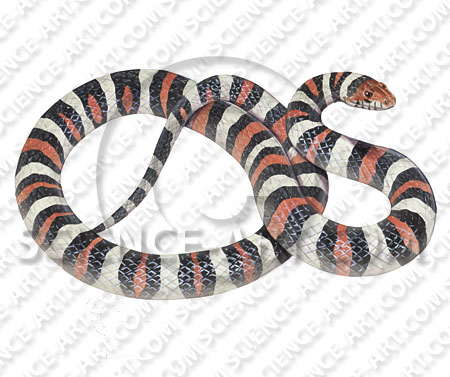 Milk snake Lampropeltis triangulum