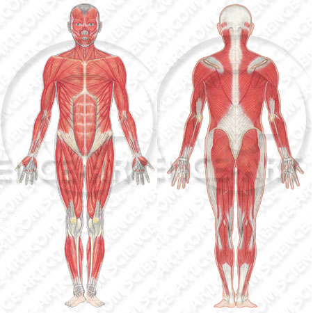 Human musculature front and back