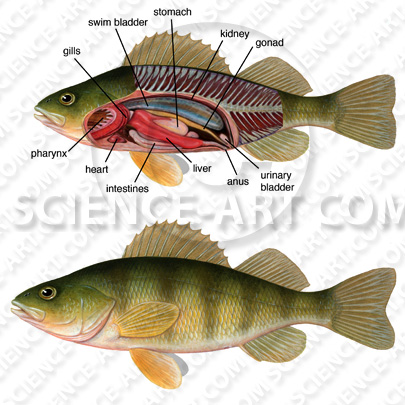 Perch Internal and external anatomy - Illustration@Science-Art.Com