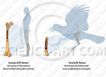 Human and Bird Bone comparison