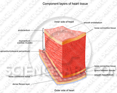 Heart tissue layers