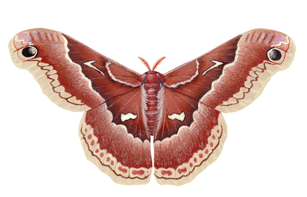 Prometheus Silk Moth female