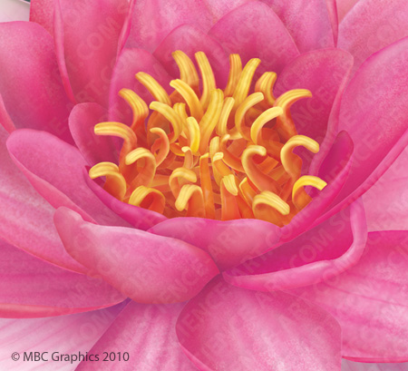 Fragrant Water Lily - Detail