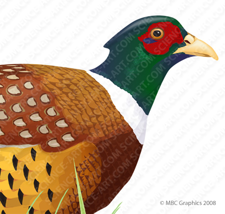 Ring-Necked Pheasant - Detail