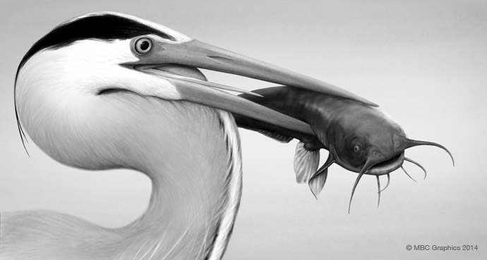 Great Blue Heron and Catfish (Ardea herodias)