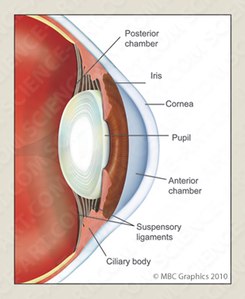 Detail Image of the Anatomy of the Human Eye