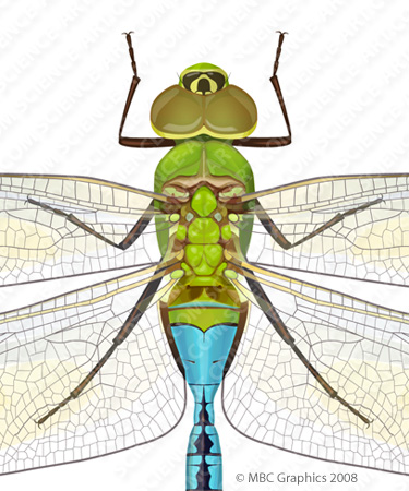 Green Darner Dragonfly - Detail