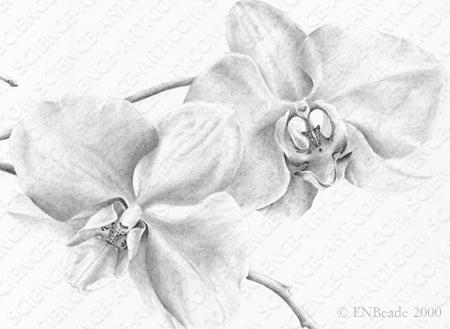 Orchid Drawing - Phaelenopsis - DETAIL