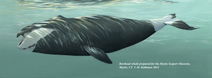 Bowhead whale painted for Mystic Seaport